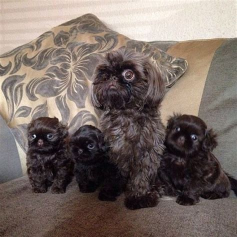 chocolate shih tzu puppies kc reg solid chocolate imperial shih tzu puppies bradford west pets4homes