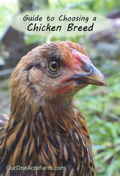 best backyard chicken breeds guide to choosing chicken breeds the best breeds for