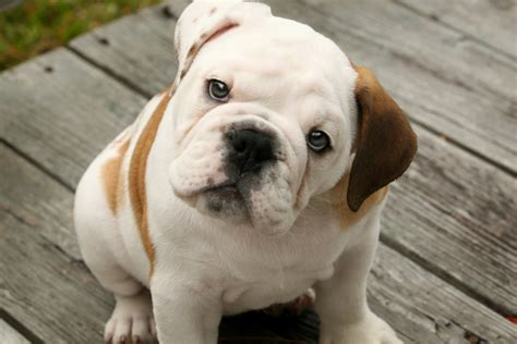 bulldog puppies puppy dogs bulldog puppies