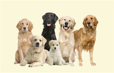 what color are golden retrievers golden retriever colors breeds picture