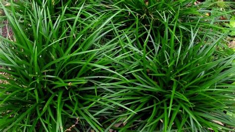 shamrock green carex foliosissima irish green bert cuijpers