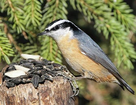 17 best images about red breasted nuthatch on pinterest