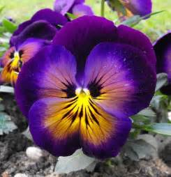 pansy the specific colors of the flower purple yellow
