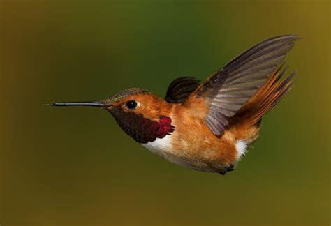 10 eye catching rufous colored birds