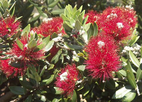 metrosideros excelsa new zealand christmas bush photo