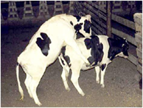 Bibit Sapi Kupang memilih bibit ternak kambing