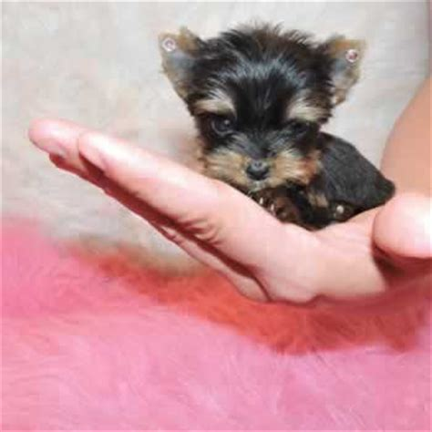all about teacup yorkies yorkie puppies sale teacup yorkies parti chocolate golden terriers
