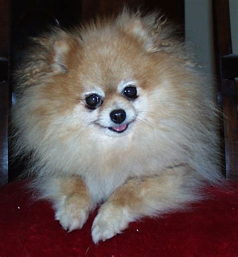 caring for pomeranians caring for a senior pomeranian pomeranian information and facts