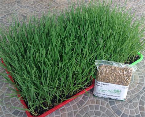 Jual Bibit Rumput Gandum Di Bandung jual benih wheatgrass 500gram rumput gandum termurah