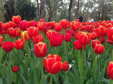 wallpaper bunga tulip di belanda bunga tulip yang sedang mekar picture of araluen botanic