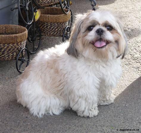where can i buy a shih tzu 1000 ideas about shih tzu on shih tzu puppy shih tzu and dogs