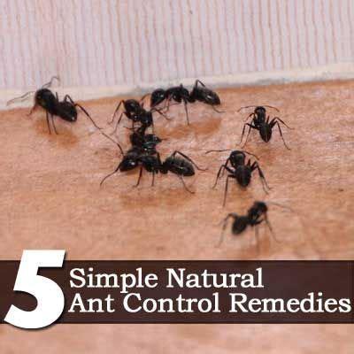 Ant Deterrent In Kitchen by Get Rid Of Ants Kitchen Ideas