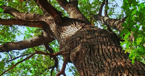 signs is dying 5 signs that your oak tree is dying woodsman tree service