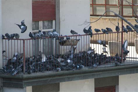 come scacciare i piccioni dal terrazzo allontanamento e pulizia da guano di piccione sa fi