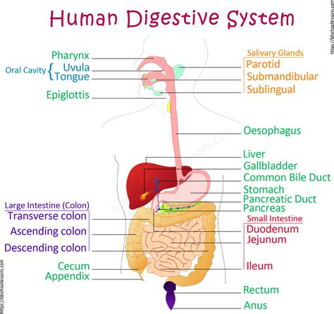 diagram digestive system digestive system for how the digestive system works