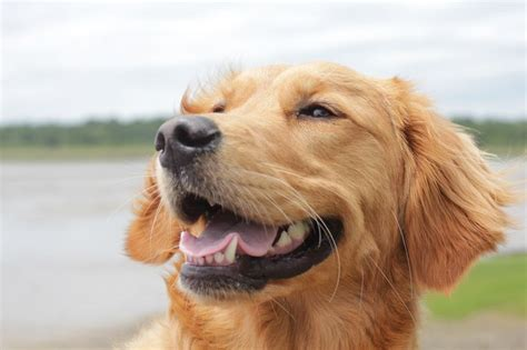 golden retriever smile golden retriever smile doggone and a mew sing animals pinter