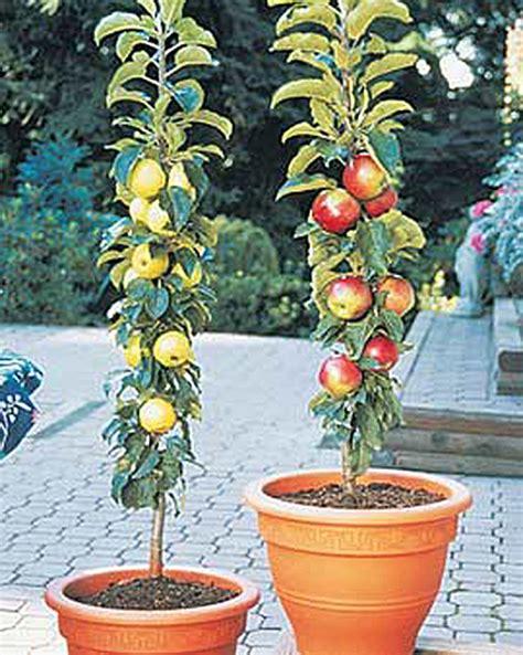ordering fruit trees columnar apple trees buy from gardener s supply