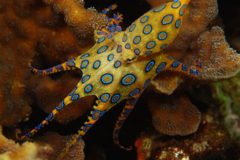 Picture Of A Blue Ring by The Blue Ringed Octopus Ferrebeekeeper