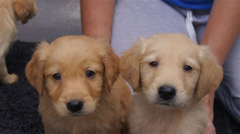golden retriever puppies for sale swansea beautiful golden retriever pups for sale swansea swansea pets4homes