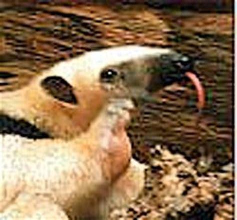 tamandua  collared anteater belize animals caribbean