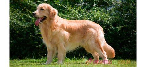valor golden retriever cachorro golden retriever pre 231 o caracter 237 sticas