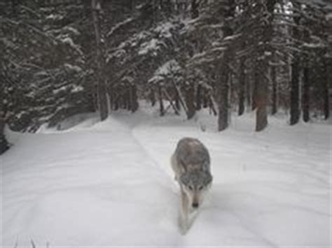 hd trailcam pictures of wolves in winter 1000 images about wolves and why i them on wolves wolves and grey wolves