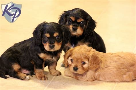 keystone puppies 1000 images about cavachon puppies on puppys and spaniels