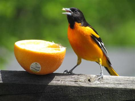5 tips to attracting orioles into your yard the zen
