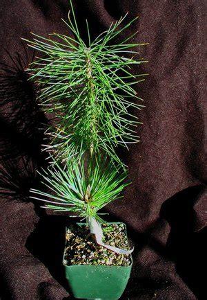 bonsainurseryman   graft  bonsai