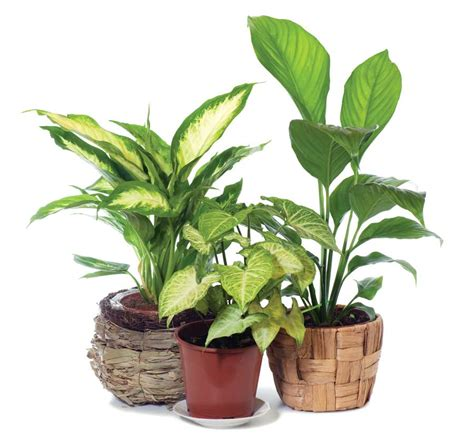 fight winter blahs with flowering indoor plants garden