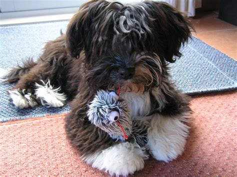 steel city havanese 405 best images about havanese on
