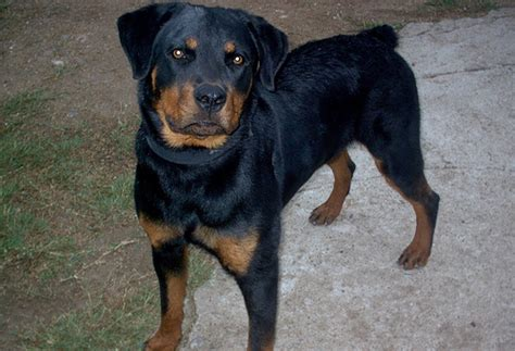 pitbull vs rottweiler pitbull vs rottweiler breeds picture