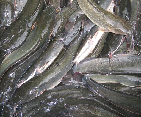 Bibit Lele Di Medan ikan lele sangkuriang asli benih ikan lele sangkuriang