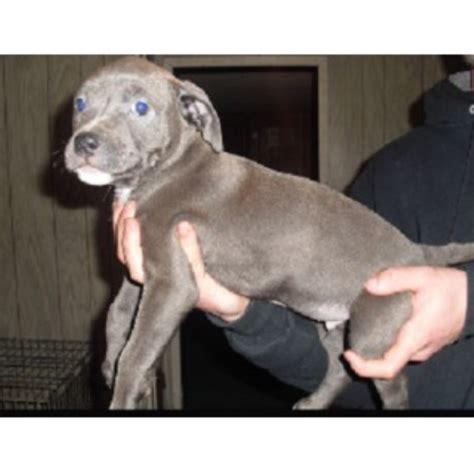 pitbull puppies for sale in indiana american pit bull terrier apbt breeders in indiana freedoglistings