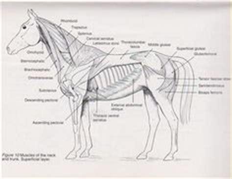 horses muscles diagram dental anatomy wall chart arabians education