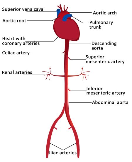 artery diagram functions of the celiac artery explained with a labeled