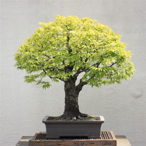 Indoor Flower Plants by File Japanese Zelkova Bonsai 16 30 April 2012 Jpg