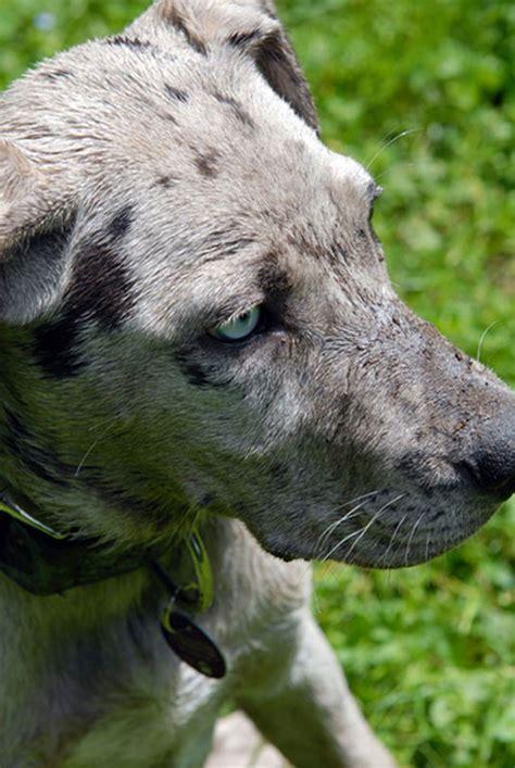 Fensterbrett Synonym by Louisiana Catahoula Leopard Tagebuch
