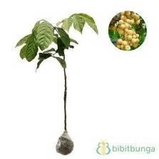tanaman dukong duku malaysia jual tanaman hias