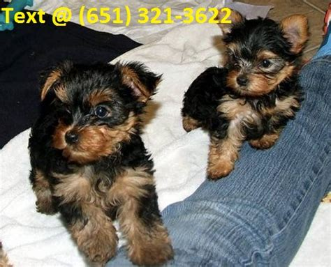 yorkie puppies for sale in sacramento akc registered teacup yorkie puppies for sale text 651 321 3622 in sacramento