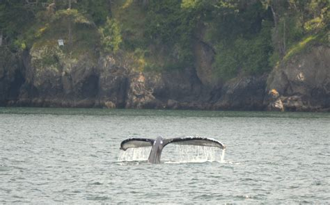 fast boat whale watching seattle humpback practices how to be a whale in the salish sea