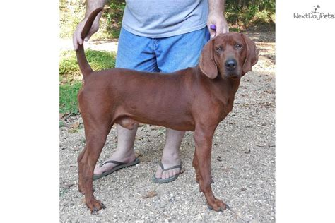 redbone puppies for sale coonhound puppy for sale local puppy breeders with redbone coonhound breeds picture
