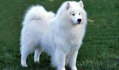 samoyed dogs samoyed breed information