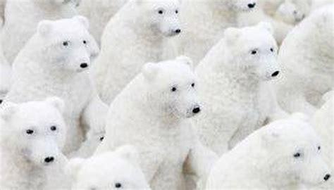 polar fur color how do polar bears camouflage sciencing