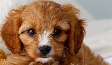 cavoodle puppies oakhurst cottage farmstay cavoodles we strive to produce healthy well socialised