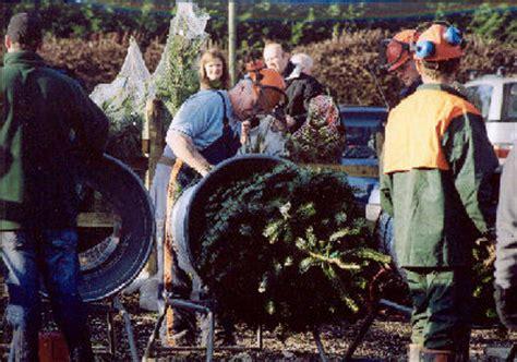 chain saw gang christmas tree farm christmas trees uk