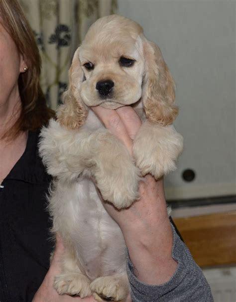 American Cocker Spaniel Puppies | Huddersfield, West ...