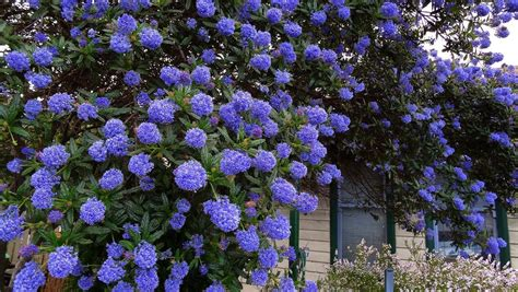 Dark Green Foliage Plants - ceanothus impressus italian skies