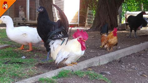 backyard farm animals relaxing backyard roosters and chickens video real farm