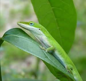 anolis carolinensis green anole american chameleon